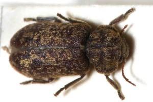 Kumbang Deathwatch
