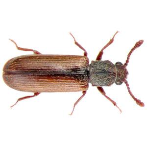 Kumbang bubuk kayu.